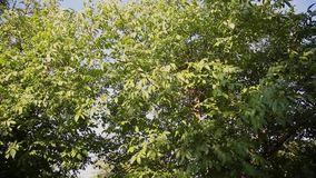 背景蓝色云彩调遣草绿色本质天空空白小束 美好的太阳亮光通过吹在风树绿色离开 与太阳的被弄脏的抽象bokeh 影视素材