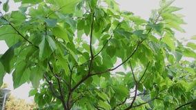 背景蓝色云彩调遣草绿色本质天空空白小束 美好的太阳亮光通过吹在风树绿色离开 与太阳的被弄脏的抽象bokeh 股票录像