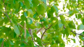 背景蓝色云彩调遣草绿色本质天空空白小束 美好的太阳亮光通过振翼在风绿色树离开,英尺长度与太阳火光 股票录像