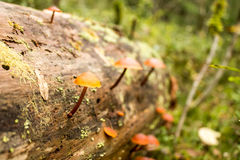 背景蓝色云彩调遣草绿色本质天空空白小束 与增长的小的蘑菇伞菌的青苔接近的景色 宏观细节 选择聚焦 免版税库存图片