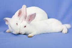 背景蓝色兔子 库存图片