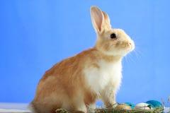 背景蓝色兔宝宝复活节 免版税图库摄影