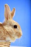 背景蓝色兔宝宝复活节 免版税库存图片