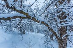 背景蓝色日橡木平静的天空冬天 免版税库存照片