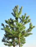 背景蓝色杉木天空结构树 免版税图库摄影