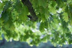 背景蓝色留下橡木天空 图库摄影