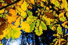 背景蓝色留下橡木天空 库存图片