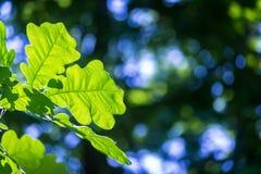 背景蓝色留下橡木天空 免版税库存照片