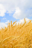 背景蓝色被覆盖的金黄天空麦子 免版税库存照片