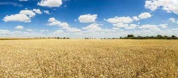 背景蓝色金黄成熟天空麦子 免版税库存图片