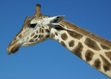 背景蓝色长颈鹿 免版税库存照片