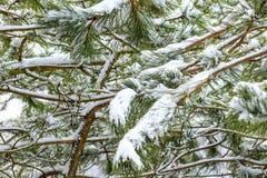 背景蓝色雪花白色冬天 用雪大层数报道的杉木分支  库存照片