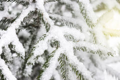 背景蓝色雪花白色冬天 用雪报道的云杉的分支 免版税库存照片
