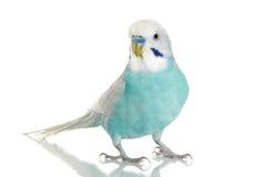 背景蓝色鹦哥白色 免版税库存图片