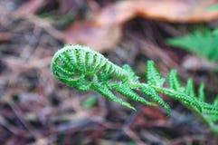 背景蕨绿色叶子年轻人 免版税库存照片