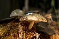 背景蘑菇关闭查出在白色的蘑菇 免版税库存照片