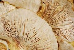 背景蘑菇牡蛎 图库摄影