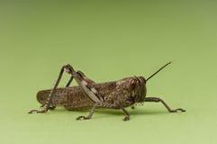 背景蚂蚱绿色若虫 库存照片