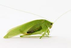 背景蚂蚱绿色mexicana scudderia白色 图库摄影