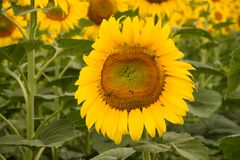 背景蜂绿色向日葵 免版税库存照片