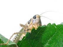 背景蝗虫白色 库存照片