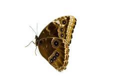 背景蝴蝶猫头鹰白色 免版税库存照片