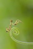 背景螳螂祈祷的白色 图库摄影