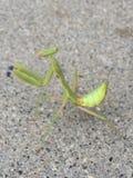 背景螳螂祈祷的白色 免版税库存照片