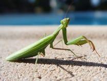 背景螳螂祈祷的白色 库存图片