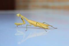 背景螳螂祈祷的白色 免版税库存图片