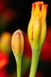 背景被弄脏的花桔子  免版税图库摄影