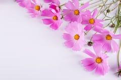 背景装饰花开花绿色模式夏天纹理 在白色的精美波斯菊桃红色花 免版税库存图片