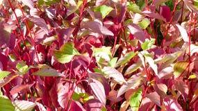 背景许多种植点红色小那里 免版税库存照片