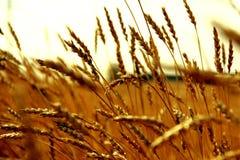 背景设计谷物纹理麦子 库存照片