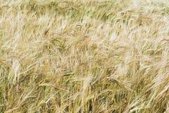 背景详细资料耳朵领域麦子 免版税库存图片