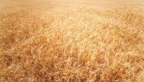 背景详细资料耳朵领域麦子 金黄麦田在晴天 拉伊w 免版税库存照片