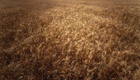 背景详细资料耳朵领域麦子 金黄麦田在晴天 拉伊w 库存图片
