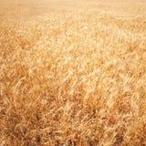 背景详细资料耳朵领域麦子 金黄麦田在晴天 拉伊w 免版税库存图片