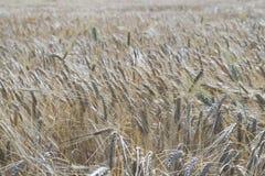 背景详细资料耳朵领域麦子 免版税库存照片