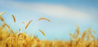 背景详细资料耳朵领域麦子 库存图片