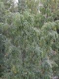 背景贝加尔湖桦树湖结构树 库存照片