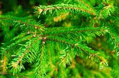 背景贝加尔湖湖杉树 免版税图库摄影