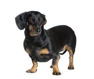 背景达克斯猎犬前面白色 免版税库存照片