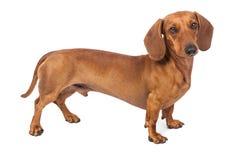 背景达克斯猎犬狗查出在白色 库存照片