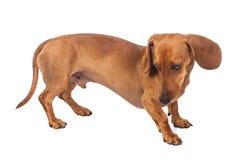 背景达克斯猎犬狗查出在白色 免版税图库摄影