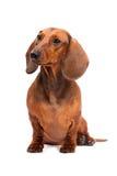 背景达克斯猎犬狗查出在白色 库存图片
