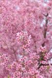 背景进展樱桃粉红色 免版税库存图片