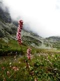背景迷离眉头edelweiss花光山 免版税图库摄影