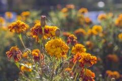 背景迷离都市风景黄色万寿菊在庭院里开花 图库摄影