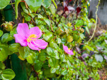 背景通配花的粉红色 免版税图库摄影